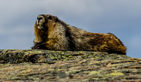 Hoary Marmot on the Whistlers Mountain