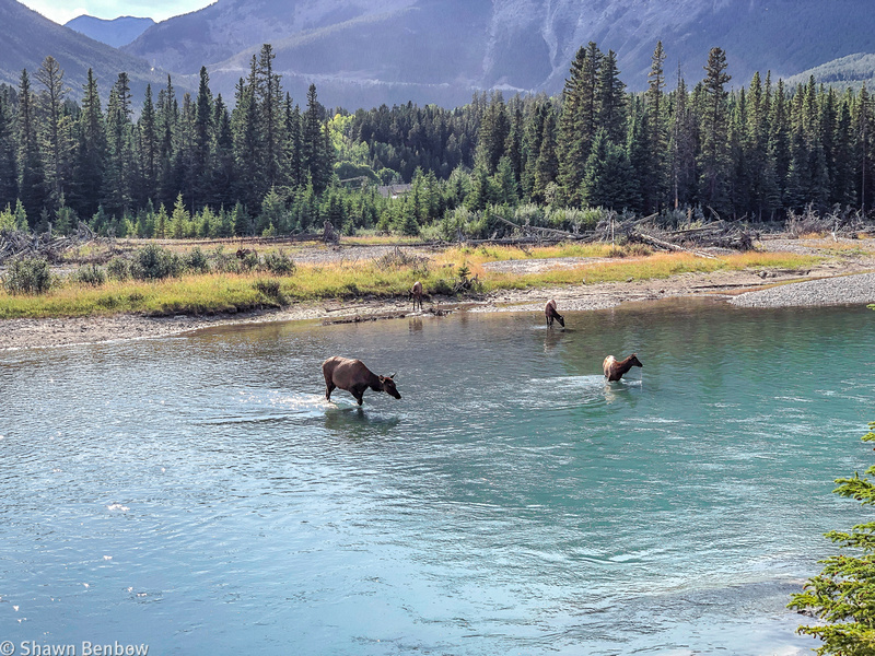 Elk in the river.