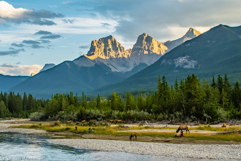 The herd on the river bank with The Three Sisters in the background.