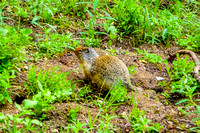 A groundsquirrel that came to visit us at breakfast at the Floe Lake Campground.