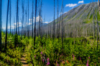 Fireweed and burnt trees on the Floe Lake Trail.