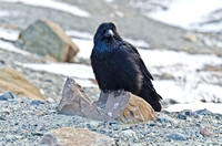 Raven near the Athbasca Glacier