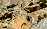 Pika at the Rock Glacier Trail